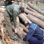 Tintesti, Tisau si Berca – raiul taierilor ilegale de arbori